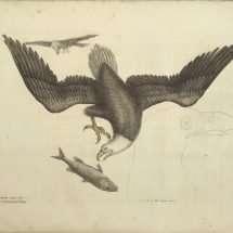 The White headed Eagle.