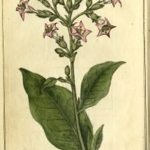 Flowers of the Tobacco Plant