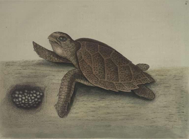 The Hawks-bill Turtle.