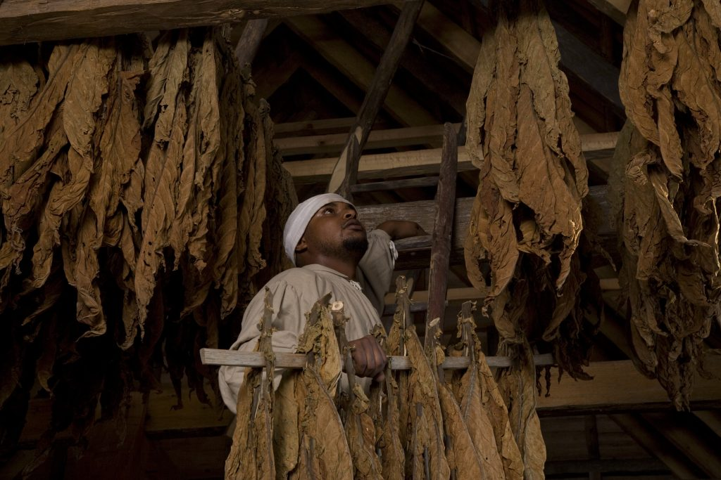 Drying Tobacco at Colonial Williamsburg